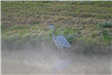 Great Blue Heron in the Mist