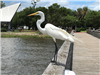 Egret watching from pier railing